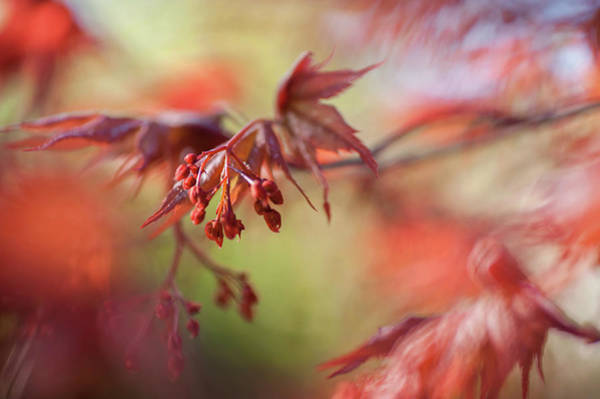Wall Art - Photograph - Imperfect Perfection. Red Maple Leaves Abstract 10 by Jenny Rainbow