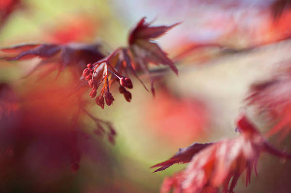 Wall Art - Photograph - Imperfect Perfection. Red Maple Leaves Abstract 11 by Jenny Rainbow
