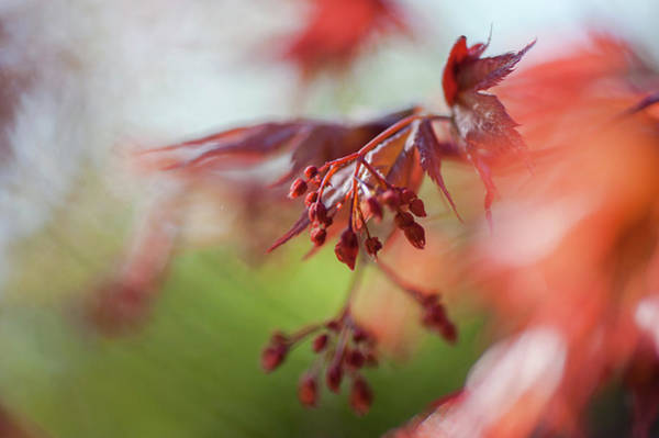 Wall Art - Photograph - Imperfect Perfection. Red Maple Leaves Abstract 12 by Jenny Rainbow