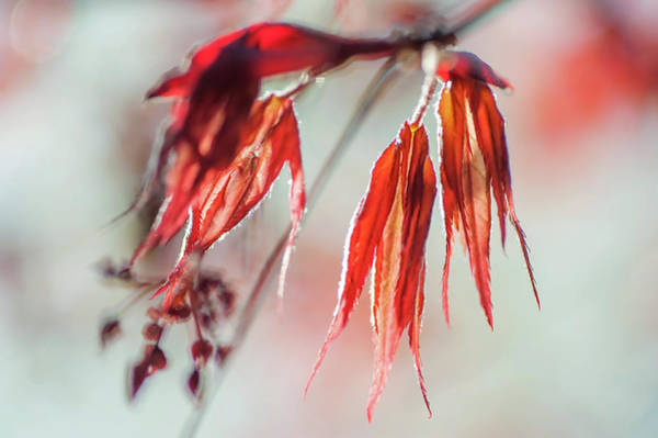 Wall Art - Photograph - Imperfect Perfection. Red Maple Leaves Abstract 13 by Jenny Rainbow