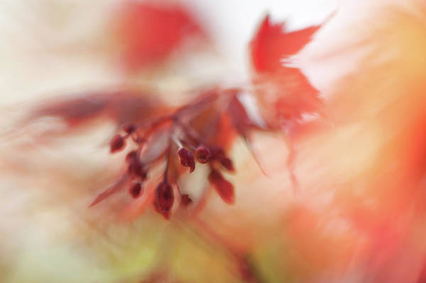 Wall Art - Photograph - Imperfect Perfection. Red Maple Leaves Abstract 14 by Jenny Rainbow
