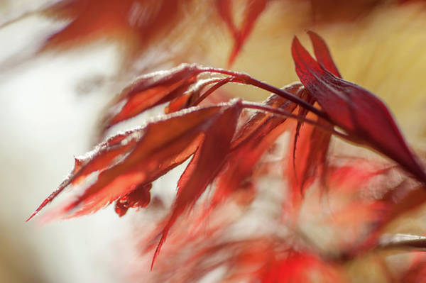 Wall Art - Photograph - Imperfect Perfection. Red Maple Leaves Abstract 15 by Jenny Rainbow