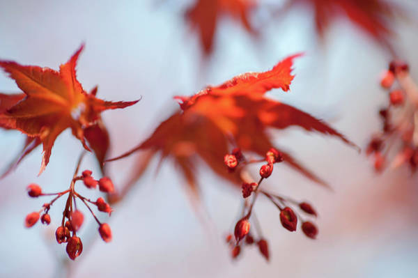 Wall Art - Photograph - Imperfect Perfection. Red Maple Leaves Abstract 2 by Jenny Rainbow