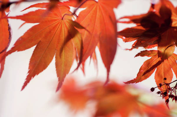 Wall Art - Photograph - Imperfect Perfection. Red Maple Leaves Abstract 20 by Jenny Rainbow