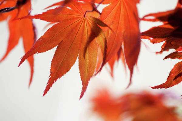Wall Art - Photograph - Imperfect Perfection. Red Maple Leaves Abstract 21 by Jenny Rainbow