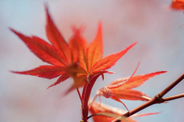 Wall Art - Photograph - Imperfect Perfection. Red Maple Leaves Abstract 3 by Jenny Rainbow