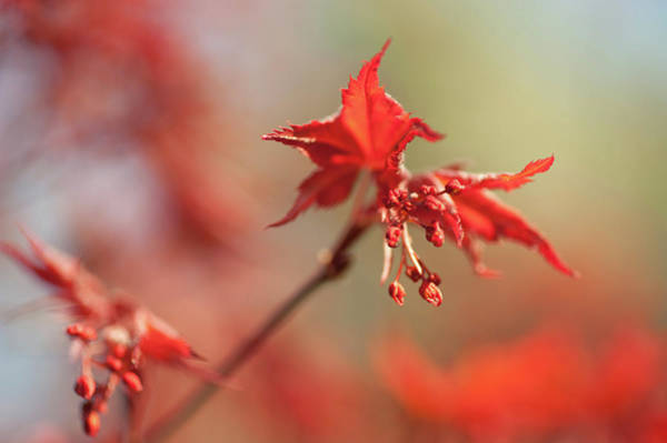 Wall Art - Photograph - Imperfect Perfection. Red Maple Leaves Abstract 4 by Jenny Rainbow
