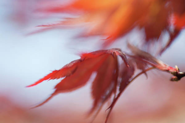 Wall Art - Photograph - Imperfect Perfection. Red Maple Leaves Abstract 5 by Jenny Rainbow
