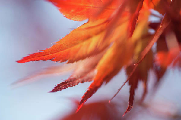 Wall Art - Photograph - Imperfect Perfection. Red Maple Leaves Abstract 6 by Jenny Rainbow