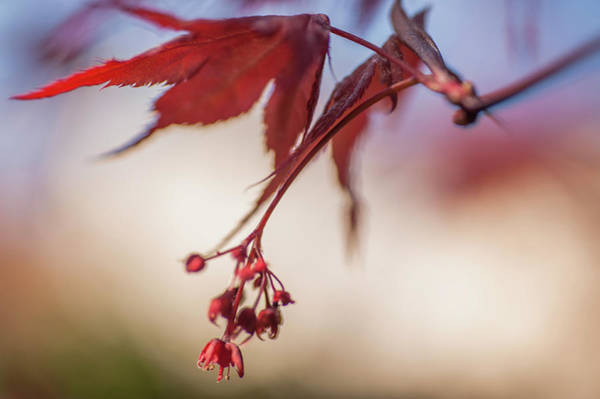 Wall Art - Photograph - Imperfect Perfection. Red Maple Leaves Abstract 7 by Jenny Rainbow