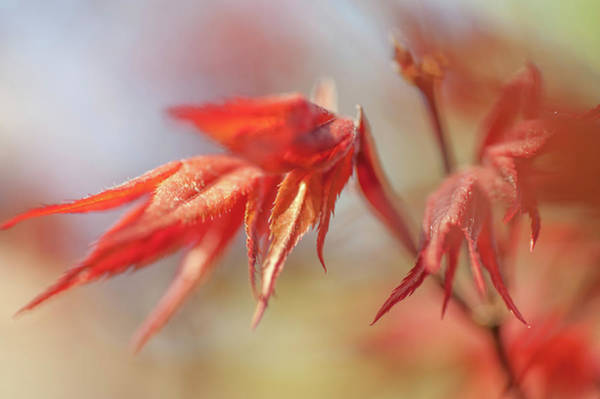 Wall Art - Photograph - Imperfect Perfection. Red Maple Leaves Abstract 8 by Jenny Rainbow