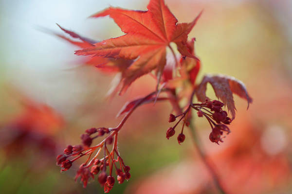 Wall Art - Photograph - Imperfect Perfection. Red Maple Leaves Abstract 9 by Jenny Rainbow