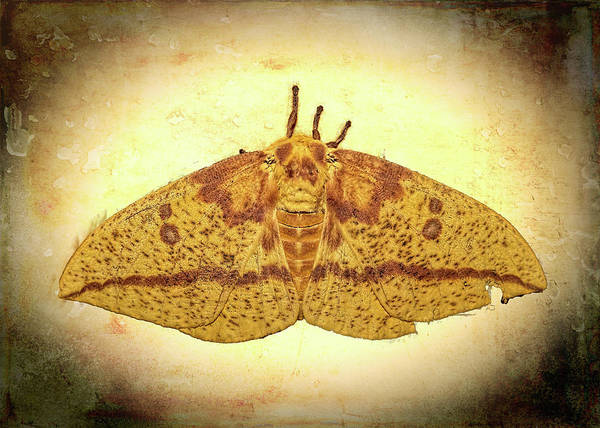 Photograph - Imperial Moth by Kay Brewer