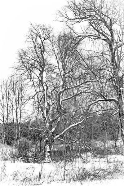 Wall Art - Photograph - In Praise Of Willows 4 Bw by Steve Harrington