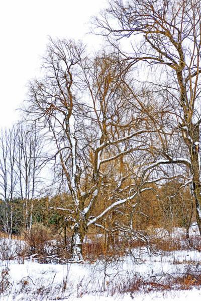 Wall Art - Photograph - In Praise Of Willows 4 by Steve Harrington