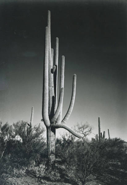 Environmental Issues Photograph - In Saguaro National Monument by Archive Photos