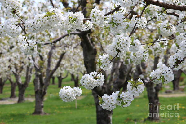 Wall Art - Photograph - In The Cherry Orchard by Carol Groenen
