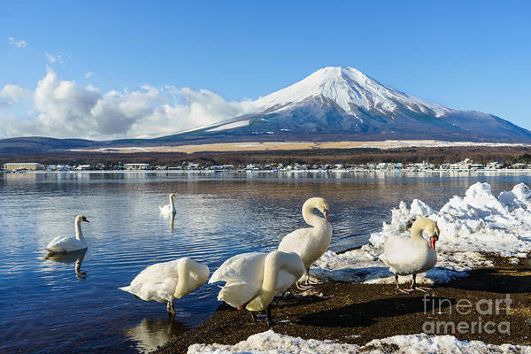 Swan Photograph - In The Morning, The White Swan In Front by Fong ch