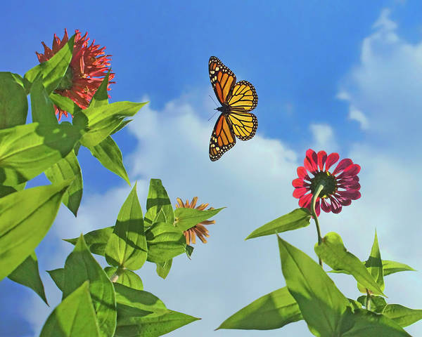 Wall Art - Photograph - In The Sky - Monarch Migration - Butterfly by Nikolyn McDonald