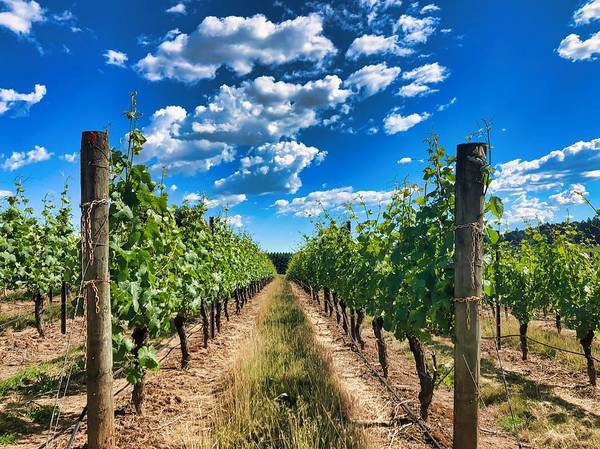 Photograph - In The Vineyard by Brian Eberly