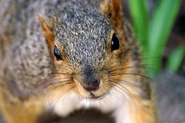 Photograph - In Your Face Fox Squirrel by Don Northup