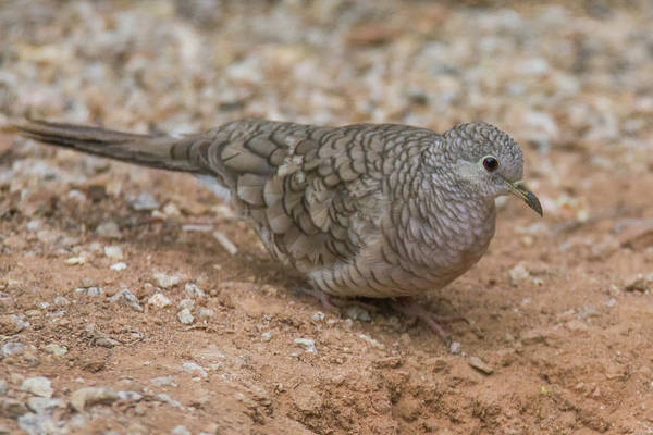 Photograph - Inca Dove 2808-071219 by Tam Ryan