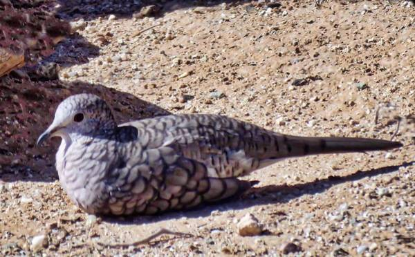 Photograph - Inca Dove In The Sonoran Desert by Judy Kennedy