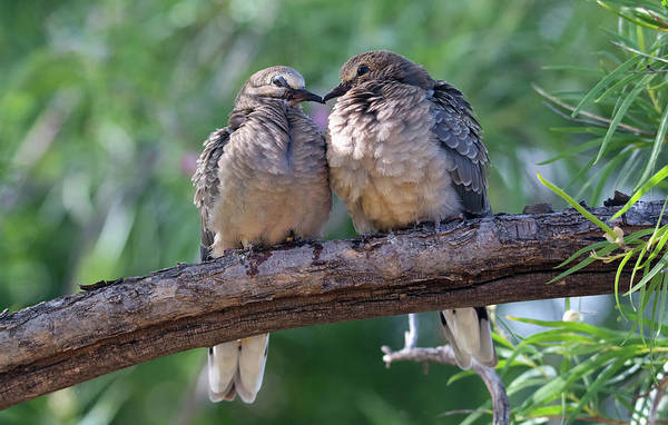 Photograph - Inca Doves 1709-052219 by Tam Ryan