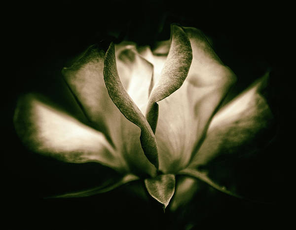 Photograph - Incandescent Rose by Jessica Jenney