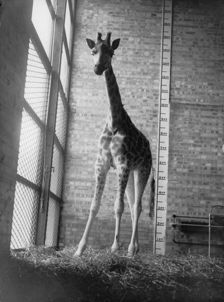 Giraffe Photograph - Inch By Inch by A R Tanner