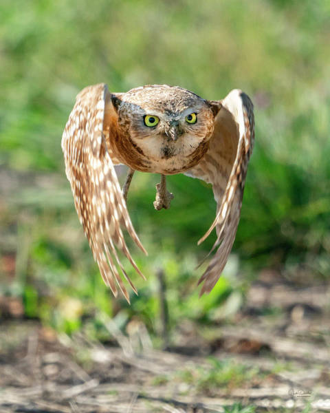 Photograph - Incoming -- Burrowing Owl Hunting by Judi Dressler