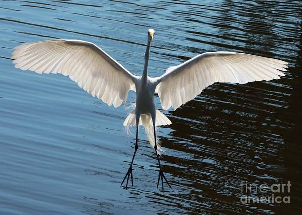 Photograph - Incoming Great Egret by Carol Groenen
