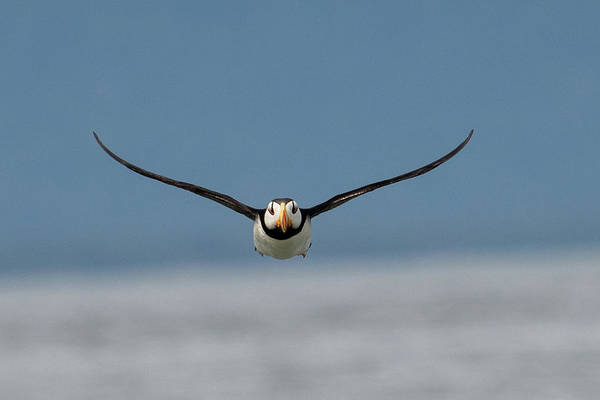 Photograph - Incoming Puffin by Mark Hunter