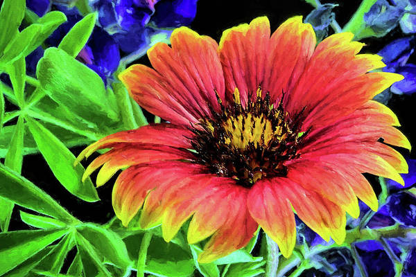 Photograph - Indian Blanket Flower Closeup by JC Findley