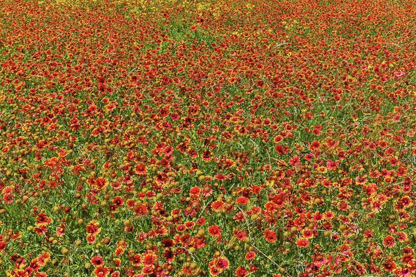 Fredericksburg Wall Art - Photograph - Indian Blanket Flower In Mass Planting by Darrell Gulin