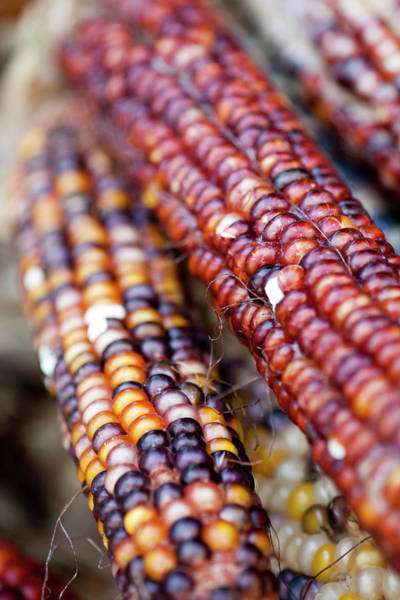Season Photograph - Indian Corn by Brian Yarvin