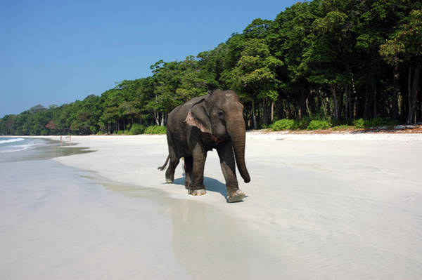 Snorkel Photograph - Indian Elephant Elephas Maximus Indicus by Astrid Schweigert