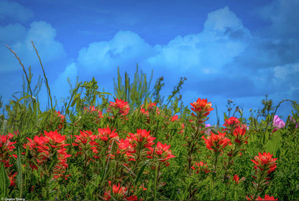 Photograph - Indian Paint Brush by Gaylon Yancy