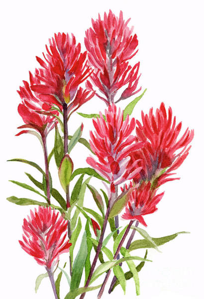 Freeman Wall Art - Painting - Indian Paintbrush by Sharon Freeman