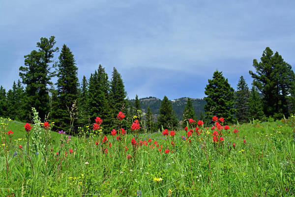 Photograph - Indian Paintbrush Yellowstone National Park by Bruce Gourley