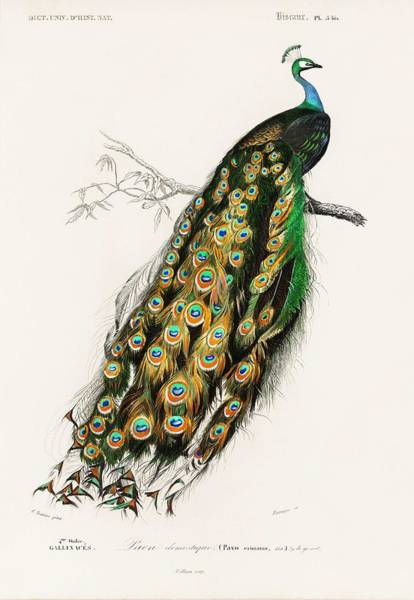 Peafowl Painting - Indian Peafowl  Pavo Cristatus Illustrated By Charles Dessalines D' Orbigny  1806-1876  by Celestial Images