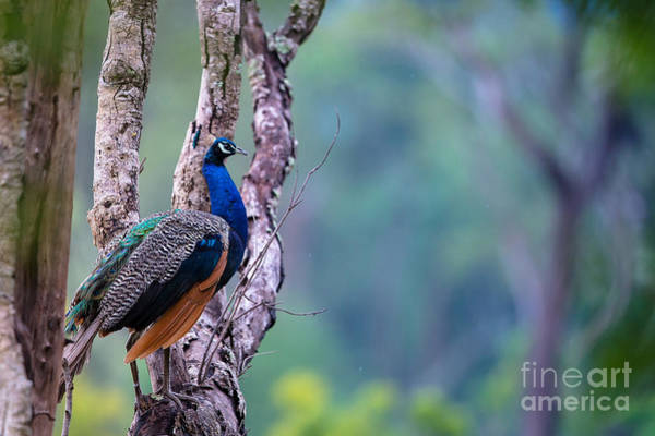 Wall Art - Photograph - Indian Peafowl by Shahin Olakara