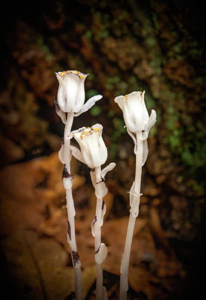 Photograph - Indian Pipe Wildflower by Carolyn Derstine