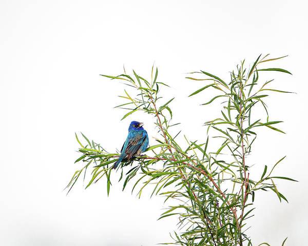 Photograph - Indigo Bunting by Jeff Phillippi