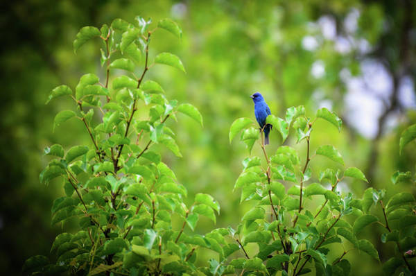 Photograph - Indigo Bunting by Michelle Wermuth