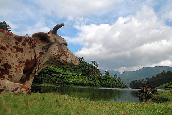 Cow Photograph - Indo - Swiss Cows View Of Munnar by Bobinson K B