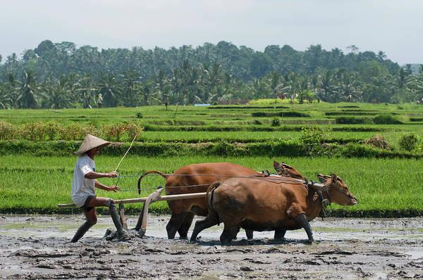 Farm Photograph - Indonesia, Bali, Tabanan, Tunjuk by Gerault Gregory / Hemis.fr