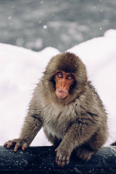Snow Monkey Photograph - Infant Japanese Snow Monkey by Photography By Martin Irwin