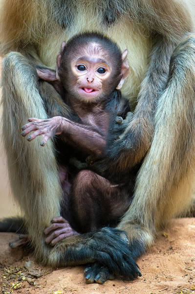 Wall Art - Photograph - Infant Langur Monkey Looking At Camera by Panoramic Images