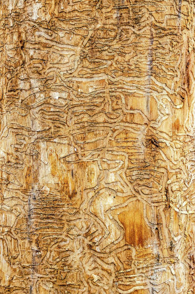 Photograph - Maze Carved By Wood Bore Beetles by Sue Smith